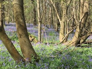 More Bluebells in Kent