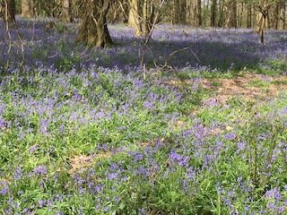 Bluebells in Kent