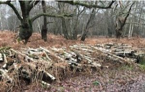 A Wood Falls Down on the Essex Borders