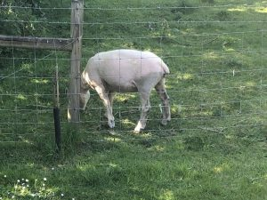 Lonely Sheep Eating Grass
