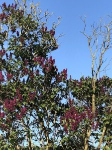 tree tops and purple blossom and bright blue sky